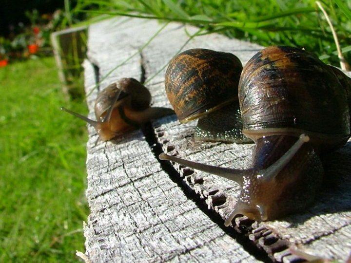Слизни в саду — простые методы борьбы с улитками