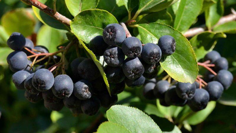 Арония или черноплодная рябина: полезные свойства